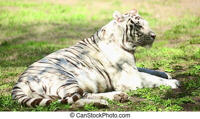 White tigress - Gorgeous white tigress lying on the grass.