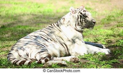 White tigress - Gorgeous white tigress lying on the grass.