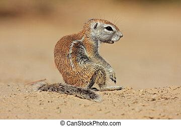 Ground squirrel (Xerus inaurus), Kalahari desert, South...
