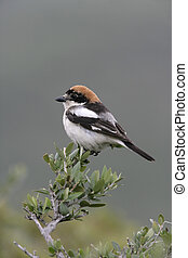 Woodchat shrike, Lanius senator, Spain, spring...