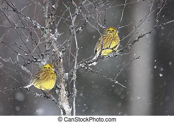 Yellowhammer; Emberiza citrinella - Yellowhammer Emberiza...
