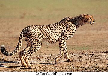 Alert Cheetah - Alert cheetah (Acinonyx jubatus), Kalahari...