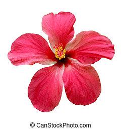 vermelho, Hibisco, flores
