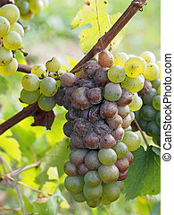 Botrytised Chenin grape, early stage, Savenniere, France -...