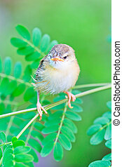 Bird squab learn to fly  (Common Tailorbird) asia thailand