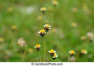 Mexican daisy (Tridax procumbens L.)
