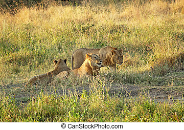 Group of young lions resting