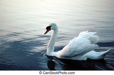 Mute Swan A-0025 - The Mute Swan Cygnus olor is a Eurasian...