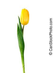 amarillo, tulipán