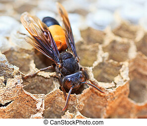 Wasps are aggressive insect in per nest