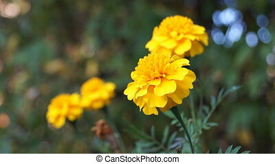 French marigold flowers in the meadow
