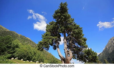 Pine tree in mountains