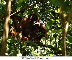 Orangutan eating ants eggs - Orangutan eating ants nest in...