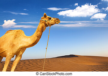 Camel and desert sand dunes panoramic landscape. Adventure...