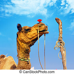 Rajasthan camel in Pushkar fair in India
