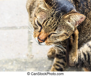Itching Tabby Cat, Closeup  - Itching Tabby Cat, Closeup