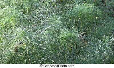 dewy dill in farm garden plant bed and morning light
