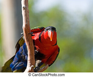 Wild Birds of Color - Bright colored Lorikeet birds in a...