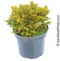 Thuya in a pot