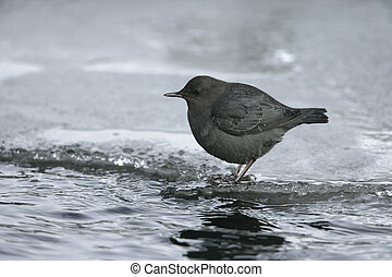 American dipper, Cinclus mexicanus, in water in Yellowstone...