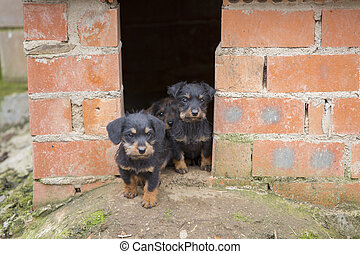 Small brown dachshunds - Closeup of baby Dachshund puppies...