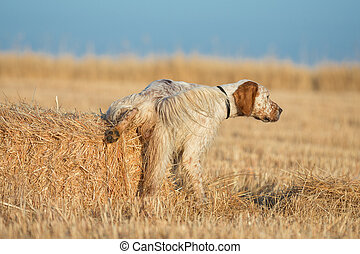 Brown Dotted Setter peeing - Rear view of brown dotted...