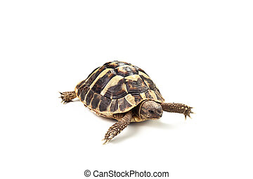 turtle - Coahuilan Box Turtle (Terrapene Coahuila) isolated...