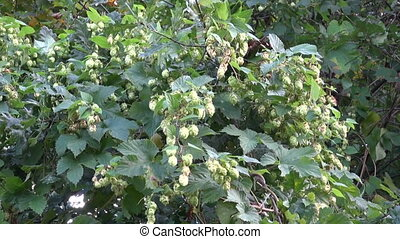 hop cones - raw material for beer
