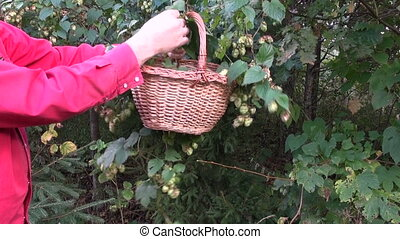 picking fresh hop cones