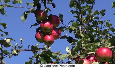 fresh apple harvest on tree