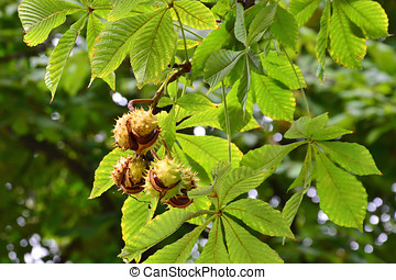 Horse-chestnuts on tree branch - Horse-chestnuts on conker...