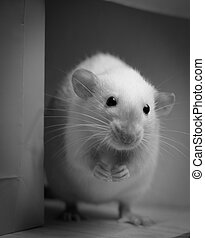 Black and White picture of a Rat - Black and White picture...