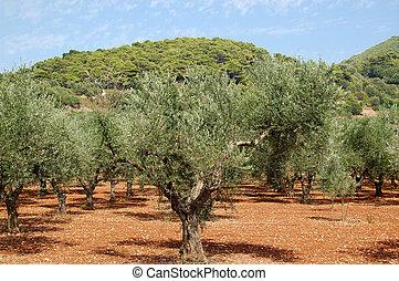 olive trees - Olive trees plantation near Keri village on...