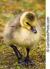 goose chick wishes a happy Easter