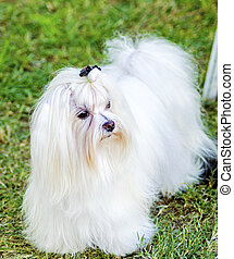 Maltese dog - A view of a small, young and beautiful Maltese...