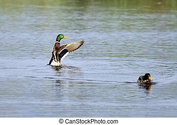 Male mallard duck shaking wings