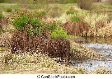 Sedge on swamp, Sakha Yakutia, a horizontal picture
