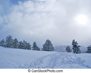 Snowstorm - Winter snowstorm landscape with pines covered by...