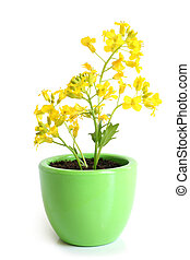 Rapeseed (Brassica napus) in pot on a white background