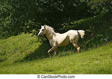 wihte Stallion