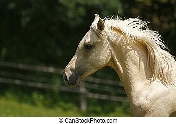 wihte Stallion - Horse
