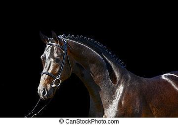 Stallion - Black Stallion Steuber