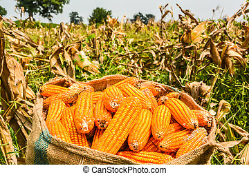 Harvest corn,Placed in a sack