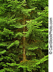 Lush Green Pine Tree - Detail image of pine tree with trunk...