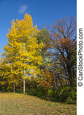 Yellow foliage of aspen in autumn. - Yellow foliage of...