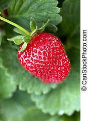 ripe strawberry plant - ripe strawberry on a plant ready to...