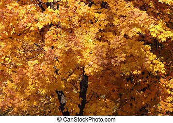 maple trees in park
