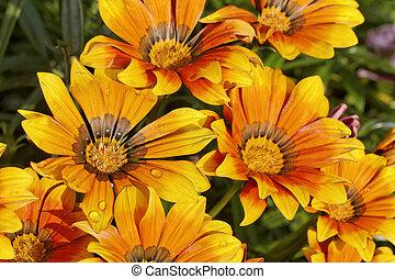 Gazania, splendens, flor