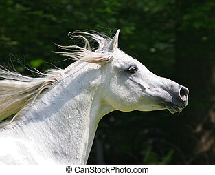Stallion - Araberhorse