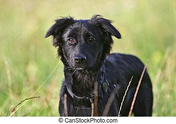 Schwarz, hund